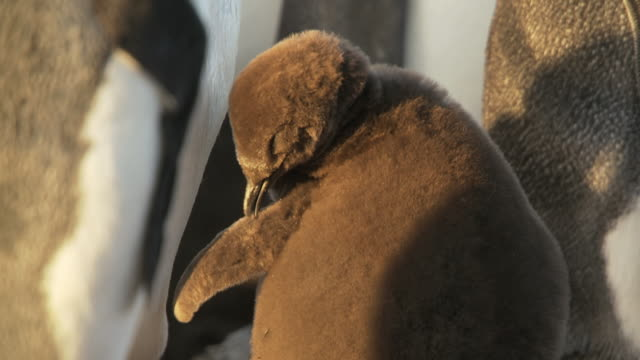 stockvideo's en b-roll-footage met ms shot of king penguin aptenodytes patagonicus chick preening / volunteer point, falkland islands - dierenverzorging