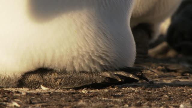 cu shot of king penguin aptenodytes patagonicus feet egg hidden / volunteer point, falkland islands - small group of animals stock videos & royalty-free footage