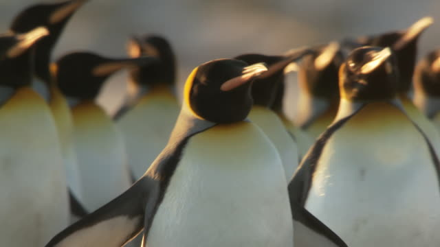 ms shot of king penguin aptenodytes patagonicus head walking / volunteer point, falkland islands - 50 seconds or greater stock videos & royalty-free footage