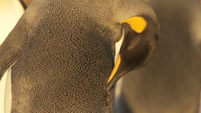vídeos y material grabado en eventos de stock de ms shot of king penguin aptenodytes patagonicus preening / volunteer point, falkland islands - grupo mediano de animales