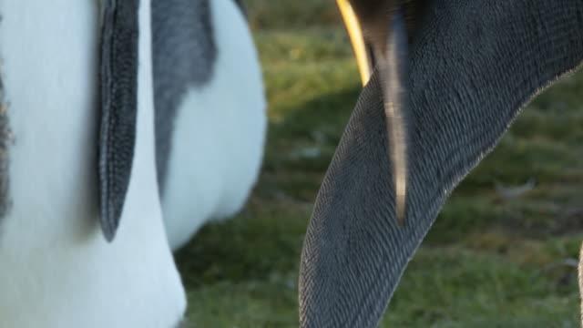 cu pan shot of king penguin aptenodytes patagonicus preening wing / volunteer point, falkland islands - small group of animals stock videos & royalty-free footage