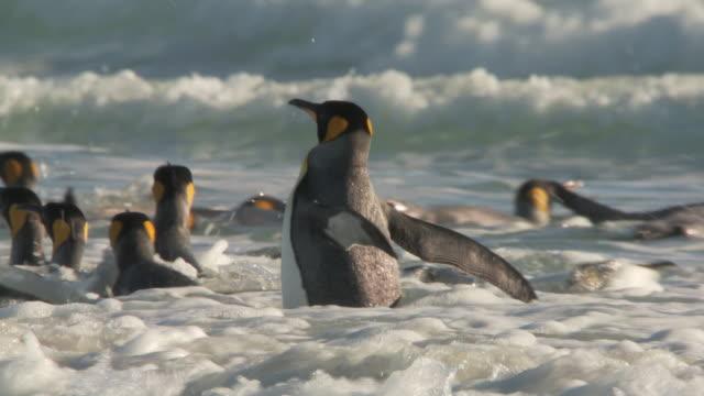 vídeos y material grabado en eventos de stock de ms ts shot of king penguins aptenodytes patagonicus in the shallows then they swim off / volunteer point, falkland islands - pingüino cara blanca