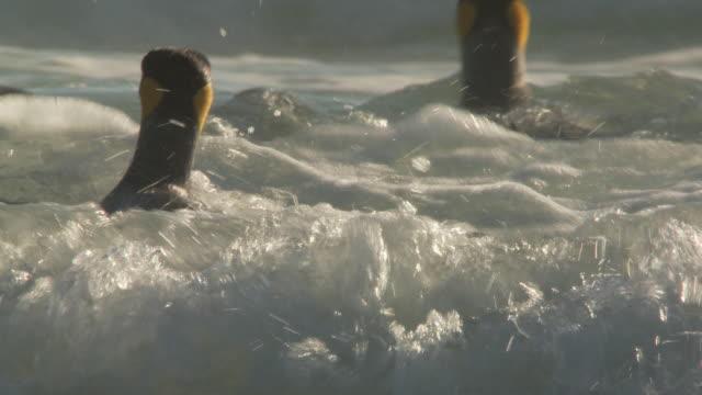 ms ts shot of king penguins aptenodytes patagonicus swimming / volunteer point, falkland islands - royal penguin stock videos & royalty-free footage