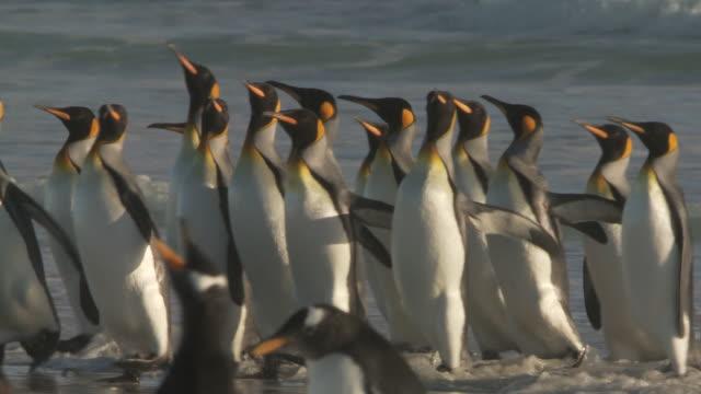 ms pan shot of king penguins aptenodytes patagonicus walking on beach in the shallows / volunteer point, falkland islands - royal penguin stock videos & royalty-free footage