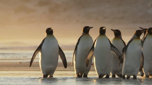 ms shot of king penguins aptenodytes patagonicus walking on beach in shallow water golden light / volunteer point, falkland islands - penguin stock videos and b-roll footage
