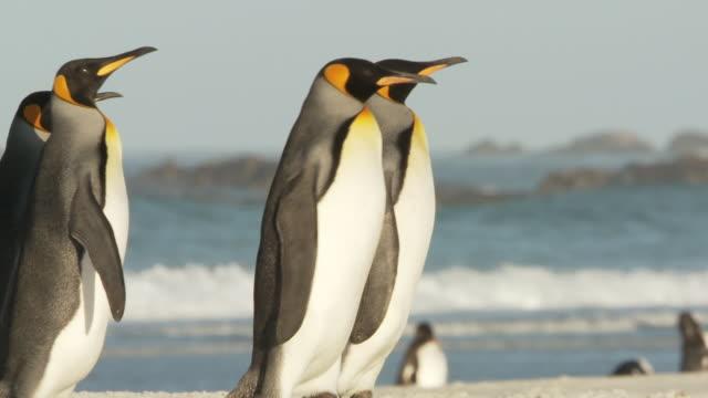 vídeos y material grabado en eventos de stock de ms ts shot of king penguins aptenodytes patagonicus walking on beach / volunteer point, falkland islands - grupo mediano de animales