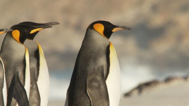 ms ts shot of king penguins aptenodytes patagonicus walking on beach / volunteer point, falkland islands - medium group of animals stock videos & royalty-free footage