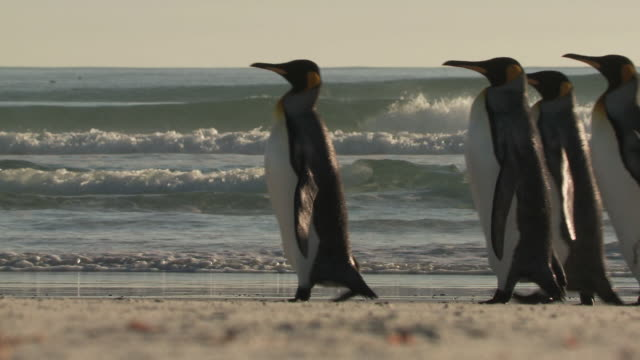 ms shot of king penguins aptenodytes patagonicus walking on beach / volunteer point, falkland islands - small group of animals stock videos & royalty-free footage