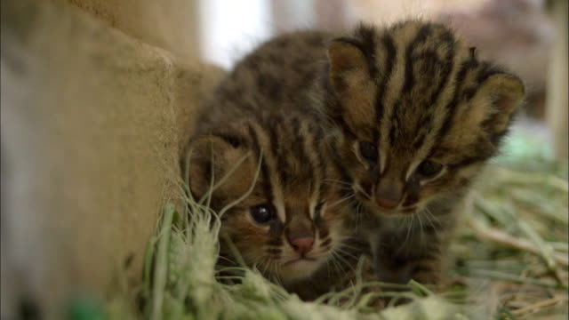 Shot of kittens cuddling [Fishing Cat (Prionailurus viverrinus)]