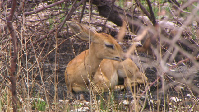 ms rf shot of klipspringer sitting in field / limpopo, south africa - hooved animal stock videos & royalty-free footage
