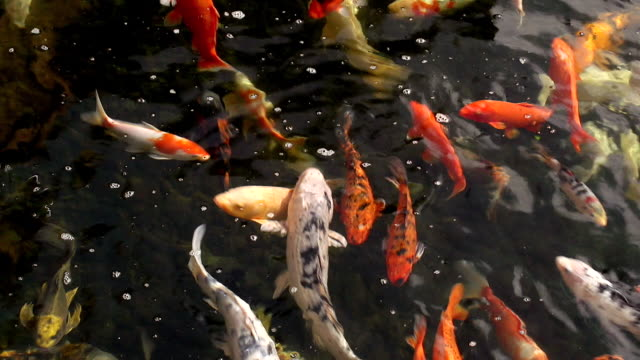 ms shot of koi carp / tenerife island, canary islands, spain - koi carp stock videos & royalty-free footage