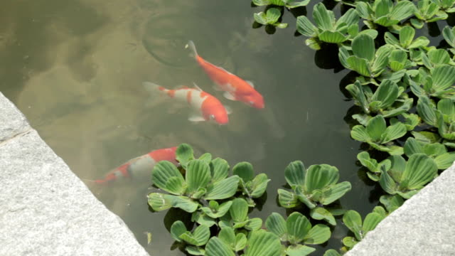 shot of koi carps in the pond at jeonju hanongmaeul village - pond stock videos & royalty-free footage