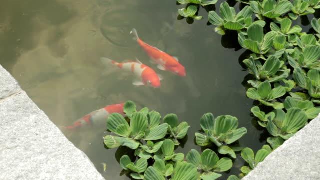 vídeos y material grabado en eventos de stock de shot of koi carps in the pond at jeonju hanongmaeul village - charca