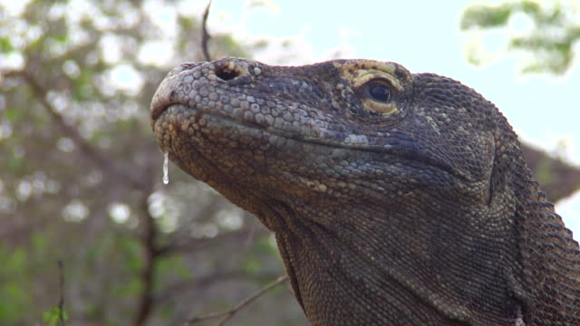 vídeos de stock, filmes e b-roll de cu shot of komodo dragon head / rinca island,  indonesia - saliva de animal
