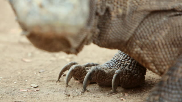 cu r/f shot of komodo dragon mouth and claw / rinca island,  indonesia - klaue stock-videos und b-roll-filmmaterial