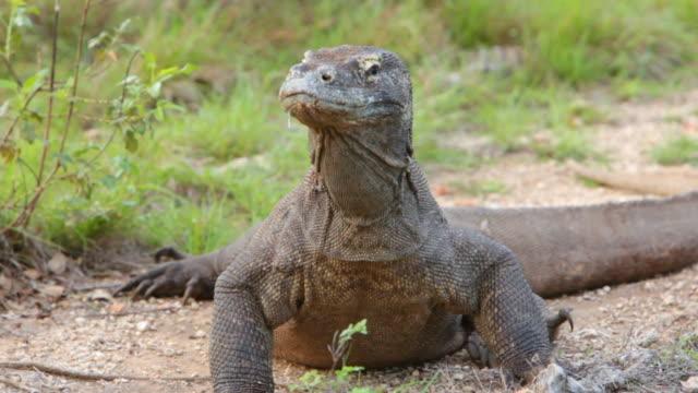 vídeos de stock, filmes e b-roll de ms shot of komodo dragon resting / rinca island,  indonesia - saliva de animal