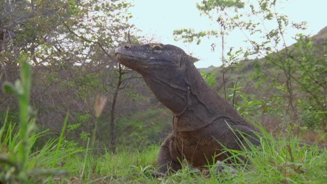 vídeos de stock, filmes e b-roll de ms shot of komodo dragon standing / rinca island,  indonesia - saliva de animal