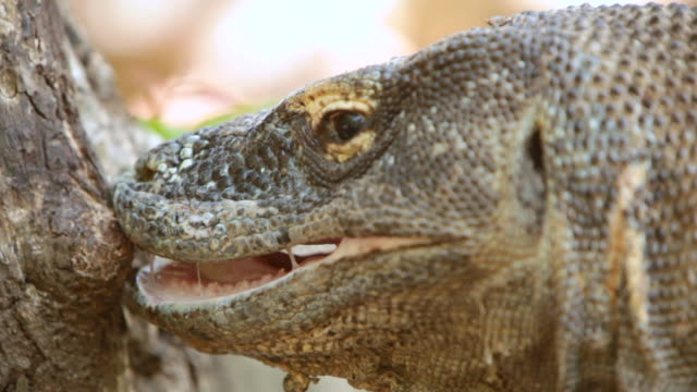 vídeos de stock, filmes e b-roll de cu shot of komodo dragon with its mouth open / rinca island,  indonesia - saliva de animal