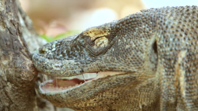 cu shot of komodo dragon with mouth open / rinca island,  indonesia - mouth open stock videos & royalty-free footage