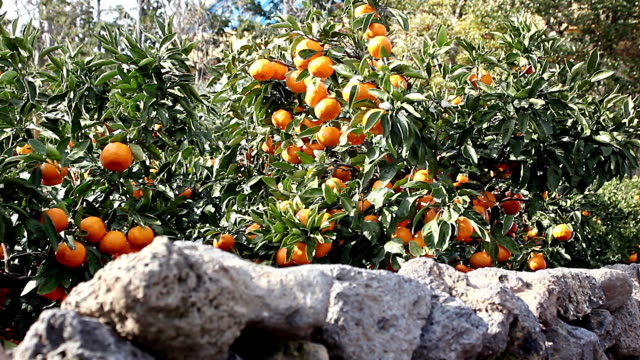 shot of korean citrus fruit tree and stone wall - citrus fruit stock videos and b-roll footage