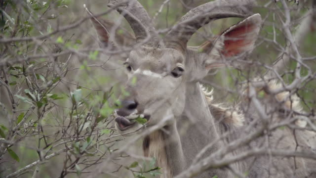 CU PAN SLO MO Shot of Kudu bull feeding off guarri tree leaves and chewing  / Kruger National Park, Mpumalanga, South Africa
