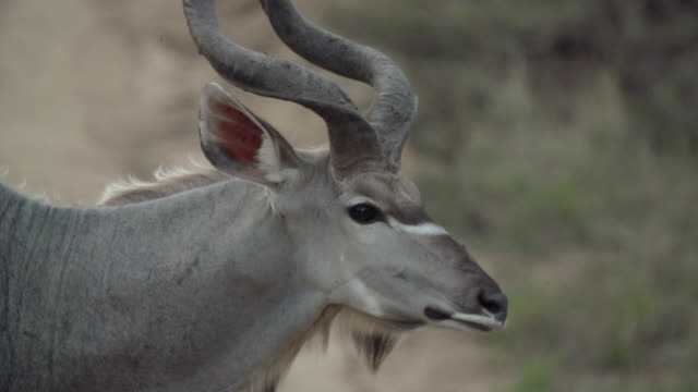 CU SLO MO TS Shot of Kudu bull walking across road / Kruger National Park, Mpumalanga, South Africa