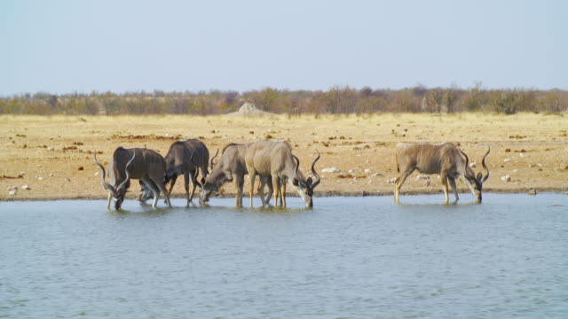 MS Shot of Kudus drinking water at waterhole / Etosha National Park, Namibia