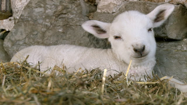 cu shot of lamb sleeping beside stone wall / stirling, ontario, canada - lamb animal stock videos and b-roll footage