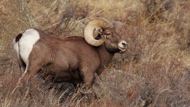 stockvideo's en b-roll-footage met cu shot of large bighorn ram standing on hillside / estes park, colorado, united states - gehoornd