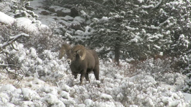 ms ts shot of large bighorn ram walking in forest / estes park, colorado, united states - small group of animals stock videos & royalty-free footage