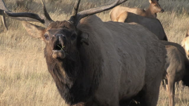 cu tu shot of large bull elk bugling audio / estes park, colorado, united states - rothirsch stock-videos und b-roll-filmmaterial