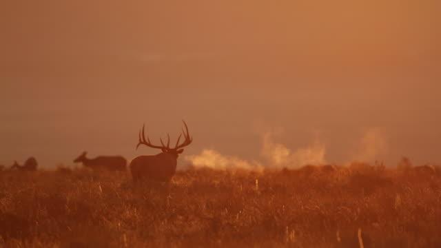 WS  shot of large bull elk (Cervus canadensis) bugling backlit at sunrise