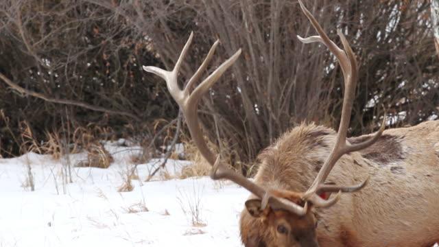 stockvideo's en b-roll-footage met cu shot of large bull elk grazing amongst willows / estes park, colorado, united states - estes park