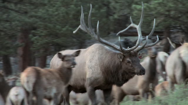 ms ts shot of large bull elk moving through harem of cows during rut while bugling audio / estes park, colorado, united states - 音声あり点の映像素材/bロール