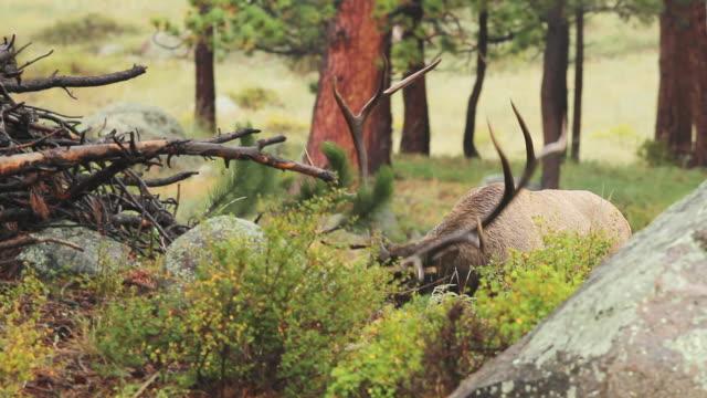 MS Shot of large bull elk thrashing his antlers on pine tree / Tetons, Wyoming, United States