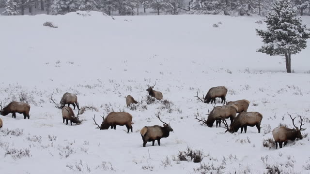 ws shot of large bull elks wading through fresh snow looking for their next meal / estes park, colorado, united states - 40 seconds or greater stock videos & royalty-free footage