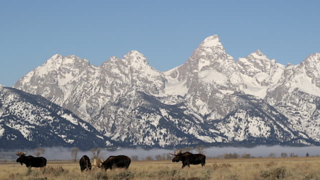 ws   shot of large bull moose (alces alces) fighting in the sagebrush with the snow covered teton mountains in the background - jackson hole stock-videos und b-roll-filmmaterial