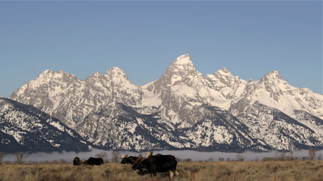 ws   shot of large bull moose (alces alces) in the sagebrush with the snow covered teton mountains in the background - セージブラッシュ点の映像素材/bロール