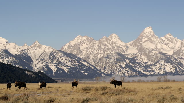 ws   shot of large bull moose (alces alces) in the sagebrush with the snow covered teton mountains in the background - montagne rocciose video stock e b–roll