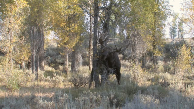 ms pan shot of large bull moose rubbing antlers on tree / jackson, wyoming, united states - 枝角点の映像素材/bロール