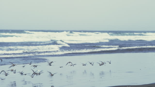 WS TS SLO MO Shot of large flock of baby seagulls flies past camera on ocean coast / Astoria, Oregon, United States