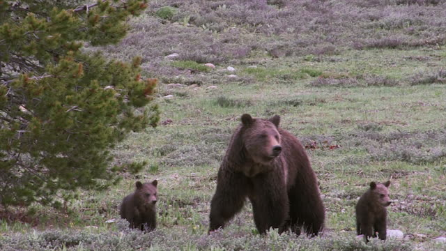 stockvideo's en b-roll-footage met ms shot of large grizzly sow (ursus arctos) with 3 cubs walking toward the camera in early spring - mount moran