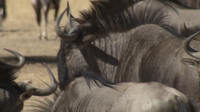 cu pan tu shot of large group of wildebeest / limpopo, south africa - medium group of animals stock videos & royalty-free footage