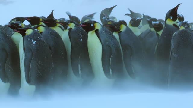 ms pan shot of large group pf emperor penguins walking left in heavy blizzard / dumon d urville station, adleie land, antarctica - pinguin stock-videos und b-roll-filmmaterial