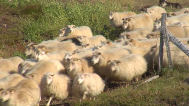ms shot of large herd of sheep moving / skagafjorour, nordhurland vestra, iceland  - flock of sheep stock videos & royalty-free footage