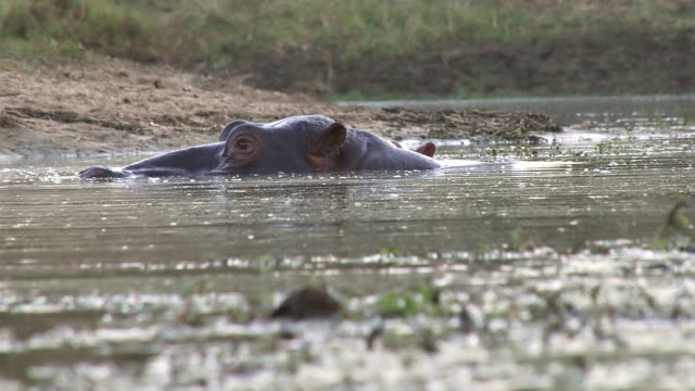 ms la shot of large hippo with gaping jaws displays teeth  / kruger national park, mpumalanga, south africa - krüger nationalpark stock-videos und b-roll-filmmaterial