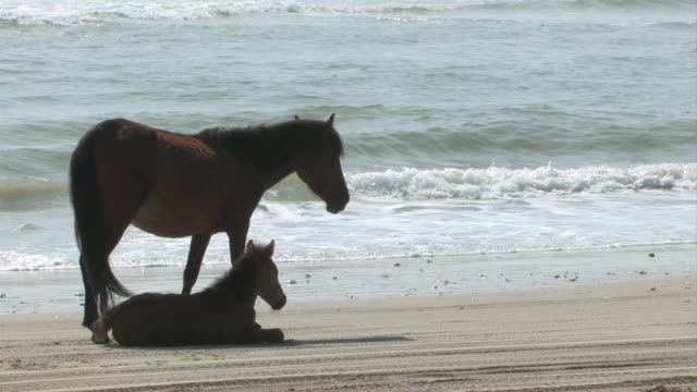 ms shot of large horse and smaller horse standing on beach together and waves crashing / rodanthe, north carolina, united states - wiese stock videos & royalty-free footage