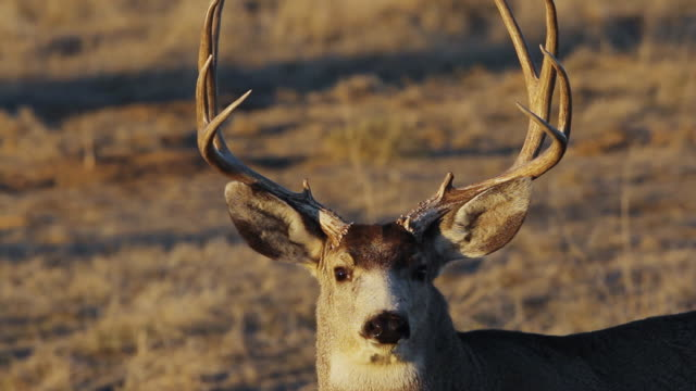 cu shot of large mule deer buck at sunset / henderson, colorado, united states - mule stock videos & royalty-free footage