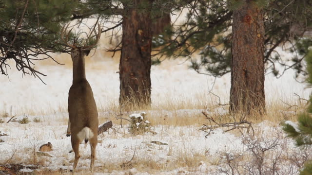 ms shot of large mule deer buck standing on hind legs eating pine needled in snow / boulder, colorado, united states - boulder stock videos & royalty-free footage