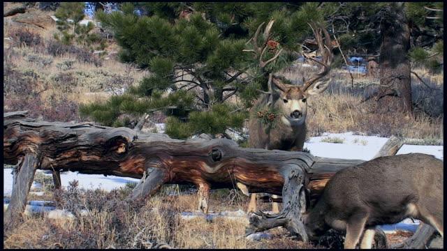 ms shot of large mule deer buck (odocoileus virginianus) with a pine branch stuck in his antler - antler stock videos & royalty-free footage